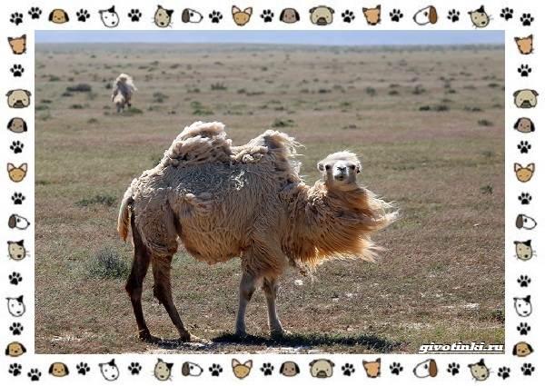 Виды-верблюдов-самых-крупных-млекопитающих-пустыни-8