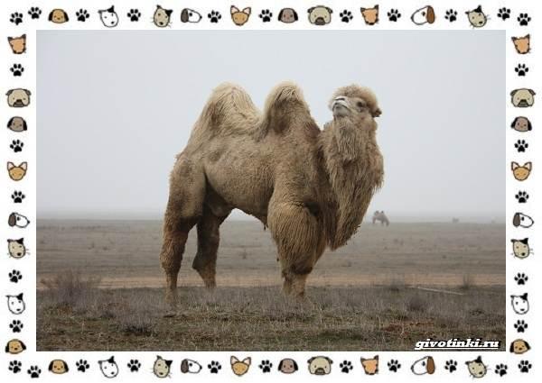 Виды-верблюдов-самых-крупных-млекопитающих-пустыни-9