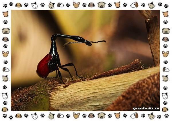 Жук-жираф-описание-особенности-и-среда-обитания-12