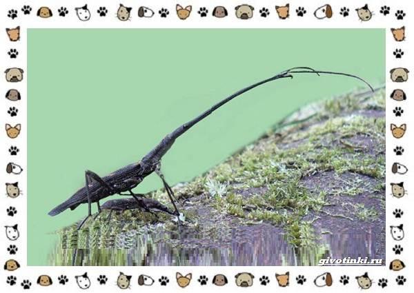 Жук-жираф-описание-особенности-и-среда-обитания-7