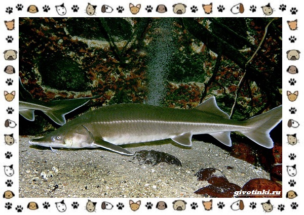 Рыба-бестер-описание-особенности-и-виды-12