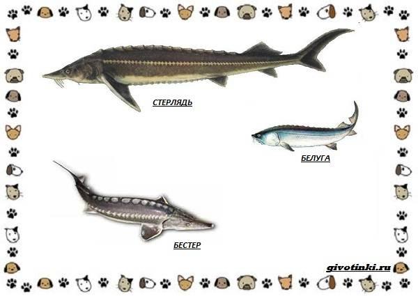 Рыба-бестер-описание-особенности-и-виды-2
