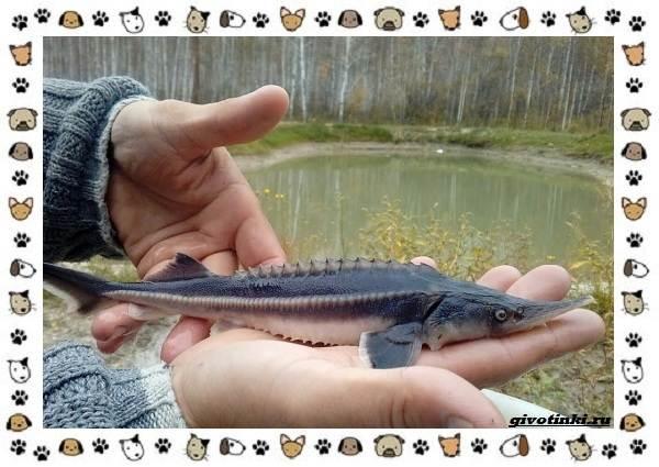 Рыба-бестер-описание-особенности-и-виды-6