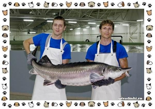 Рыба-бестер-описание-особенности-и-виды-7