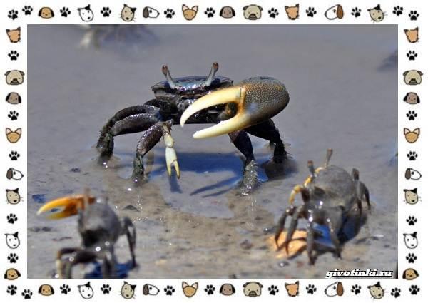Виды-крабов-каково-быть-десятиногим-10