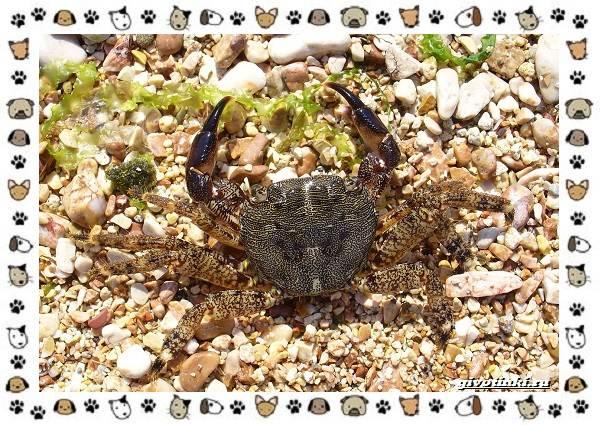Виды-крабов-каково-быть-десятиногим-15
