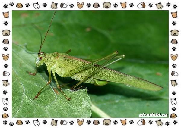 Виды-кузнечиков-насекомых-поющих-крыльями-и-слушающих-ногами-11