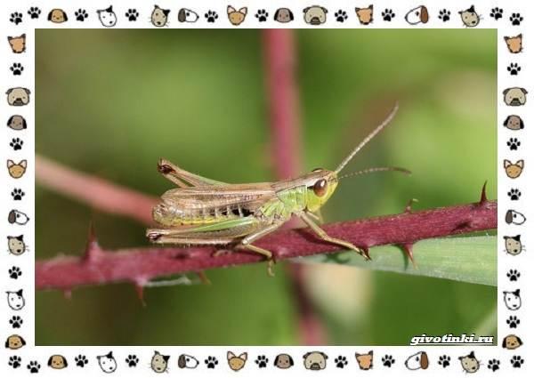 Виды-кузнечиков-насекомых-поющих-крыльями-и-слушающих-ногами-12