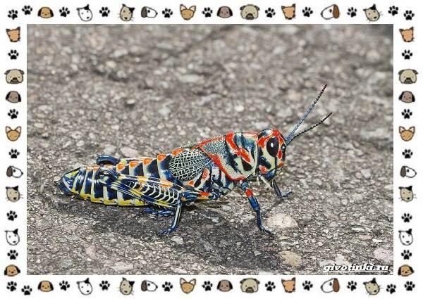Виды-кузнечиков-насекомых-поющих-крыльями-и-слушающих-ногами-14