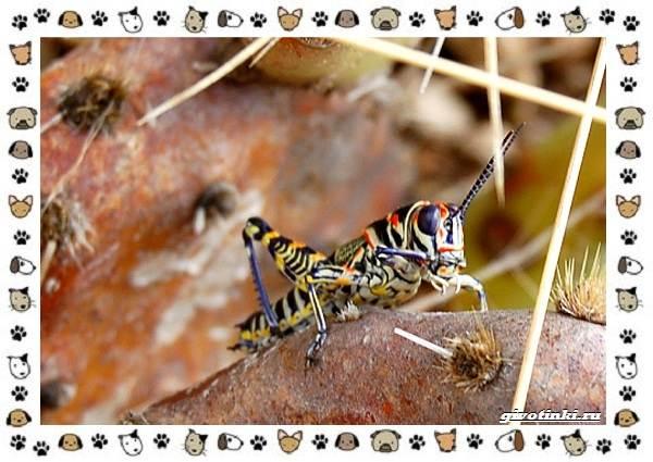 Виды-кузнечиков-насекомых-поющих-крыльями-и-слушающих-ногами-15
