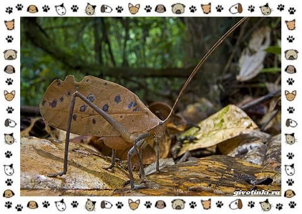 Виды-кузнечиков-насекомых-поющих-крыльями-и-слушающих-ногами-16