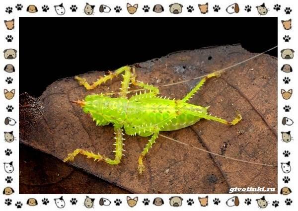 Виды-кузнечиков-насекомых-поющих-крыльями-и-слушающих-ногами-19
