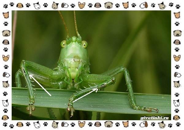 Виды-кузнечиков-насекомых-поющих-крыльями-и-слушающих-ногами-2