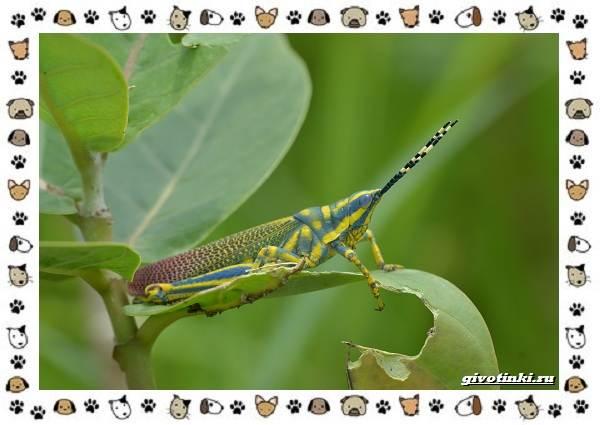 Виды-кузнечиков-насекомых-поющих-крыльями-и-слушающих-ногами-21