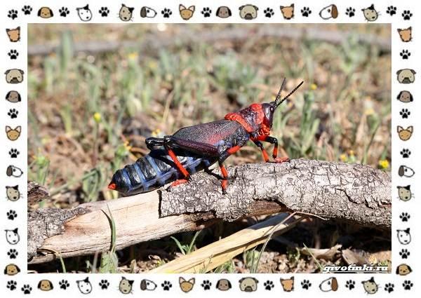 Виды-кузнечиков-насекомых-поющих-крыльями-и-слушающих-ногами-22