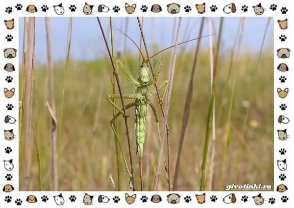 Виды-кузнечиков-насекомых-поющих-крыльями-и-слушающих-ногами-23