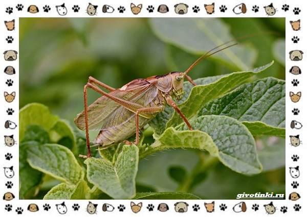 Виды-кузнечиков-насекомых-поющих-крыльями-и-слушающих-ногами-3