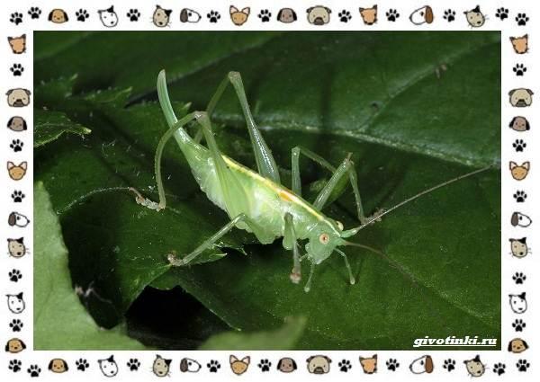 Виды-кузнечиков-насекомых-поющих-крыльями-и-слушающих-ногами-4