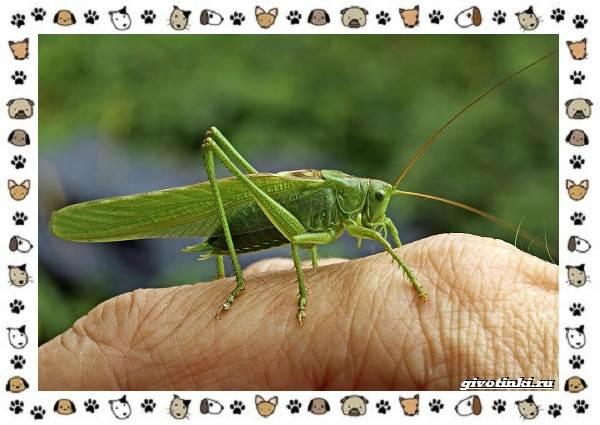 Виды-кузнечиков-насекомых-поющих-крыльями-и-слушающих-ногами-5