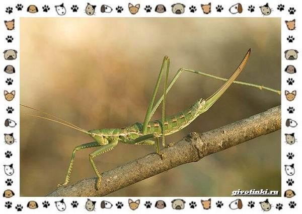 Виды-кузнечиков-насекомых-поющих-крыльями-и-слушающих-ногами-7