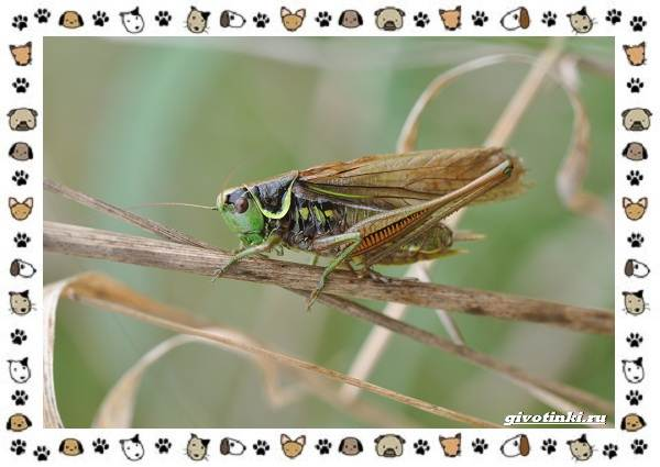 Виды-кузнечиков-насекомых-поющих-крыльями-и-слушающих-ногами-8