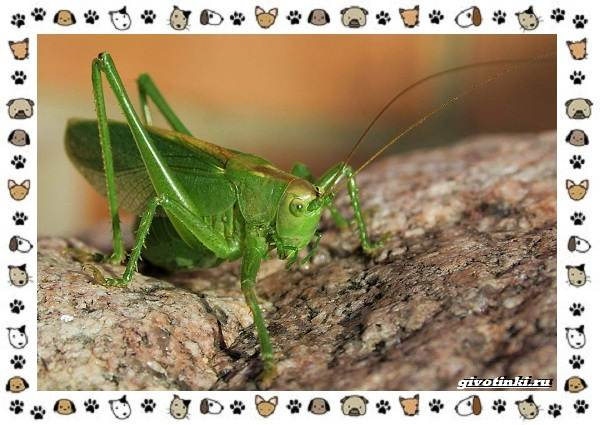 Виды-кузнечиков-насекомых-поющих-крыльями-и-слушающих-ногами