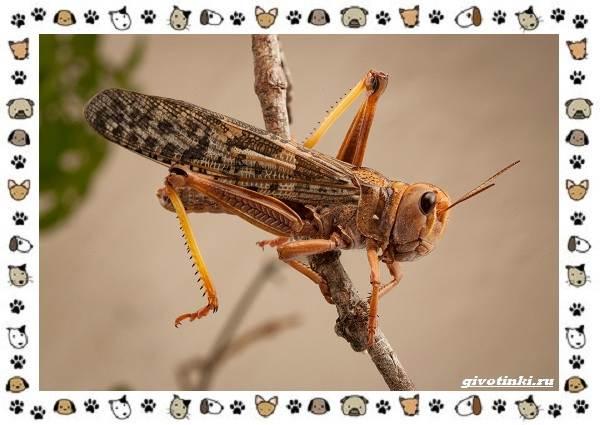 Виды-саранчи-описание-и-особенности-насекомого-10