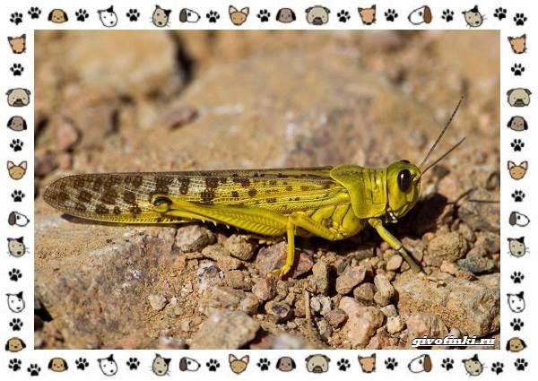 Виды-саранчи-описание-и-особенности-насекомого-11