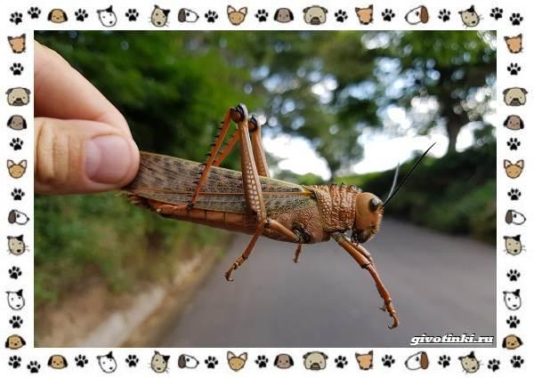 Виды-саранчи-описание-и-особенности-насекомого-12