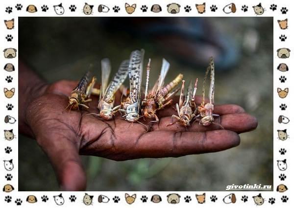 Виды-саранчи-описание-и-особенности-насекомого-13