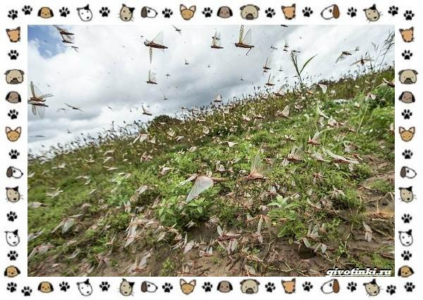 Виды-саранчи-описание-и-особенности-насекомого-16
