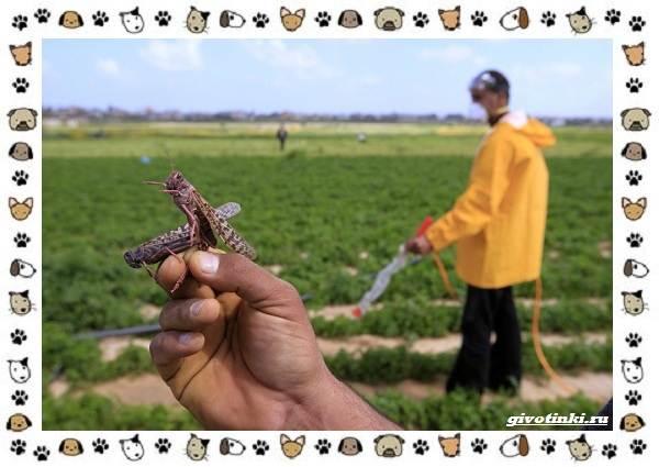 Виды-саранчи-описание-и-особенности-насекомого-17