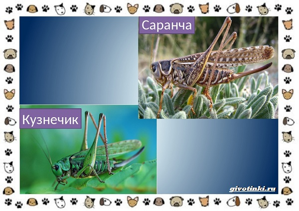 Виды-саранчи-описание-и-особенности-насекомого-18