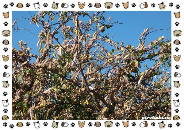 Виды-саранчи-описание-и-особенности-насекомого-19