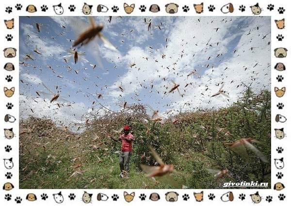 Виды-саранчи-описание-и-особенности-насекомого-2