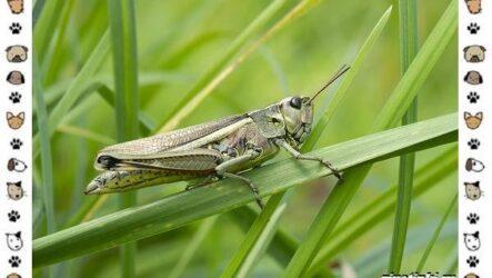 Виды саранчи: описание и особенности насекомого