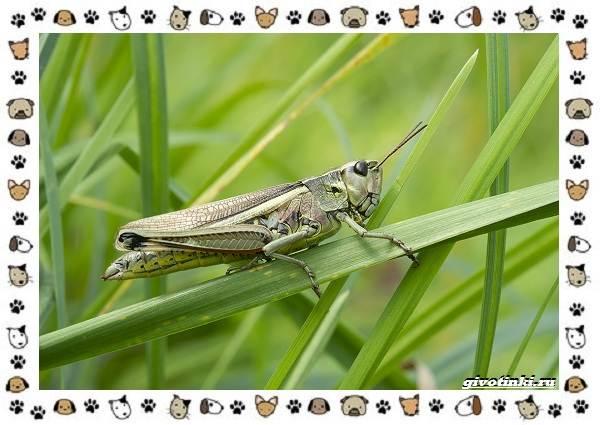 Виды-саранчи-описание-и-особенности-насекомого-4