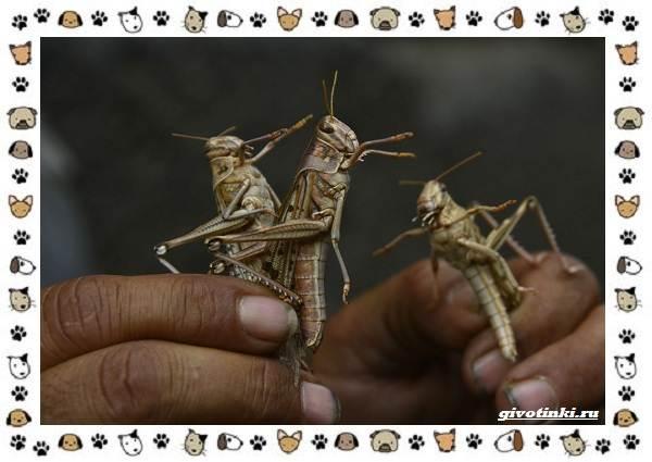Виды-саранчи-описание-и-особенности-насекомого-5