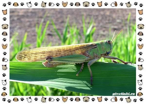 Виды-саранчи-описание-и-особенности-насекомого-7