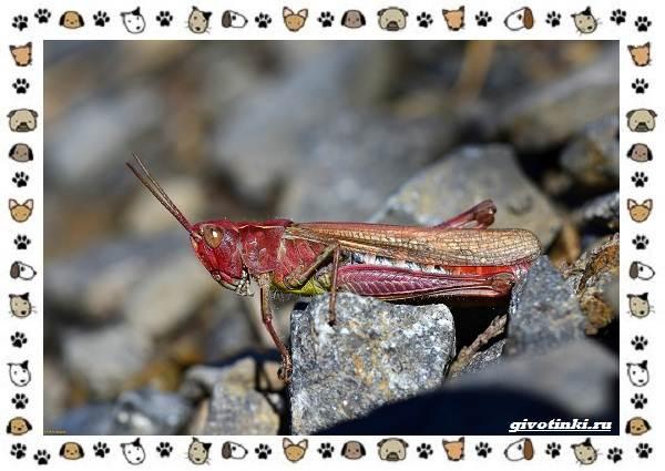 Виды-саранчи-описание-и-особенности-насекомого-8