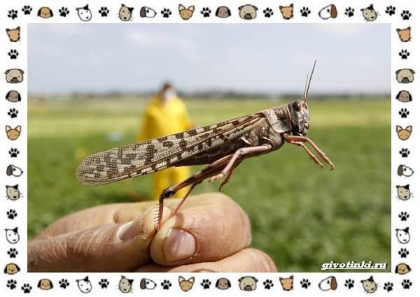 Виды-саранчи-описание-и-особенности-насекомого-9