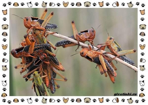 Виды-саранчи-описание-и-особенности-насекомого