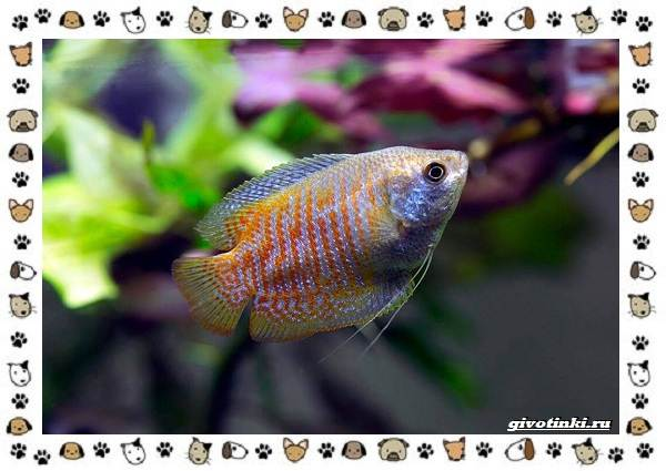 20-самых-красивых-видов-пресноводных-аквариумных-рыб-для-домашнего-содержания-12
