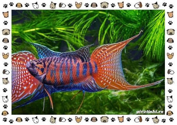 20-самых-красивых-видов-пресноводных-аквариумных-рыб-для-домашнего-содержания-14