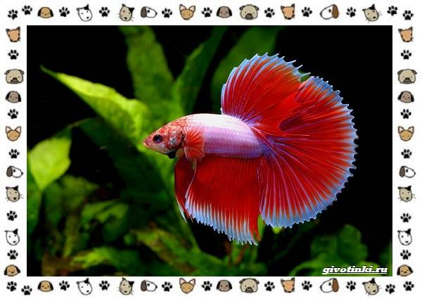 20-самых-красивых-видов-пресноводных-аквариумных-рыб-для-домашнего-содержания-17