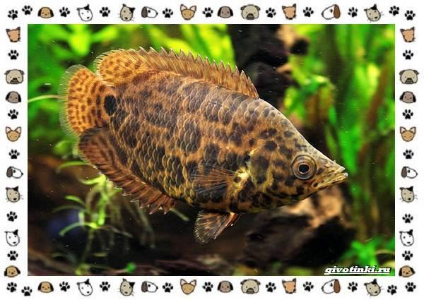 20-самых-красивых-видов-пресноводных-аквариумных-рыб-для-домашнего-содержания-30