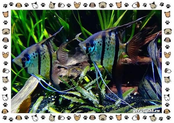 20-самых-красивых-видов-пресноводных-аквариумных-рыб-для-домашнего-содержания-36