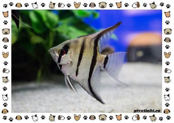 20-самых-красивых-видов-пресноводных-аквариумных-рыб-для-домашнего-содержания-37
