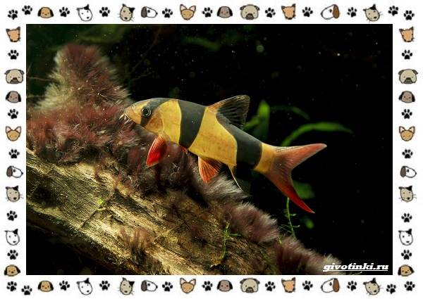 20-самых-красивых-видов-пресноводных-аквариумных-рыб-для-домашнего-содержания-38