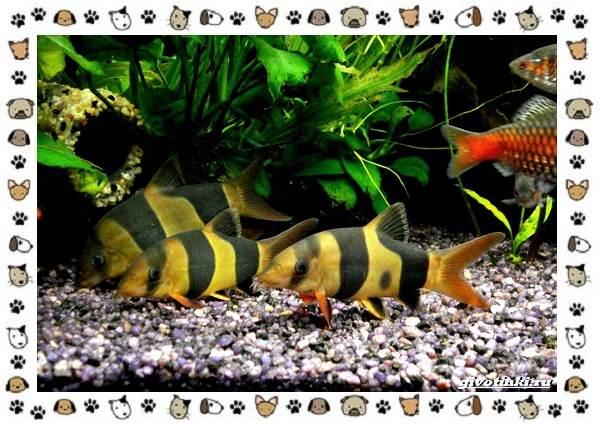 20-самых-красивых-видов-пресноводных-аквариумных-рыб-для-домашнего-содержания-39